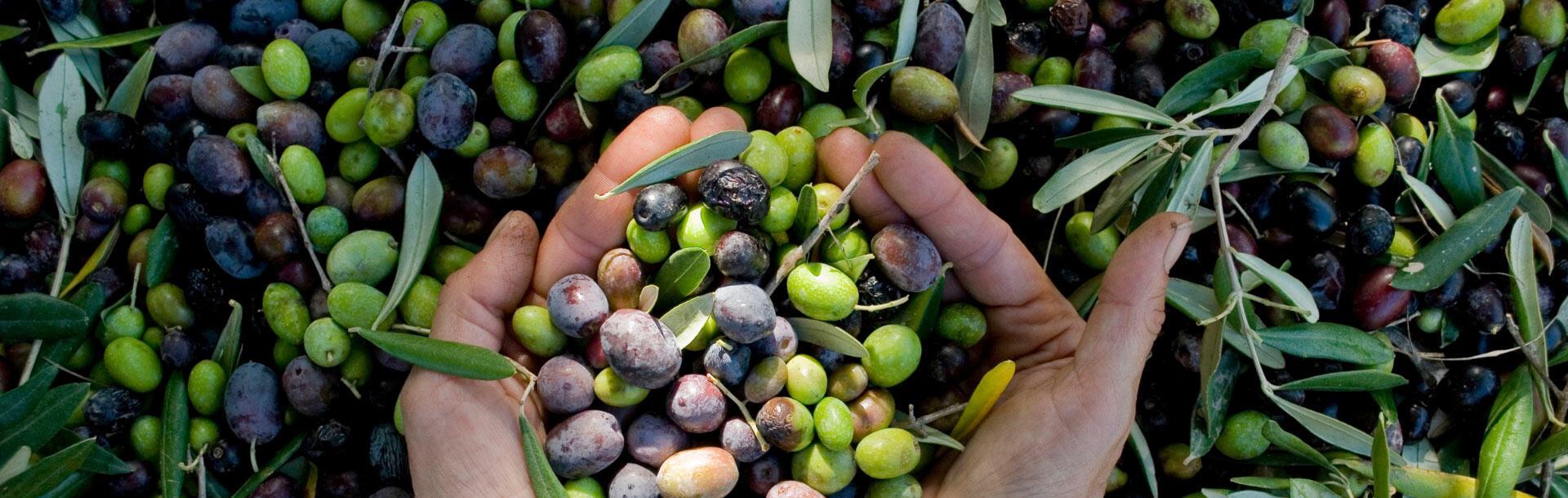 upgarda de olivenöl-gardasee 007